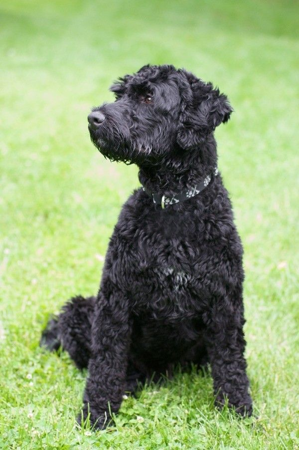 Portuguese Water Dog: Photo #8