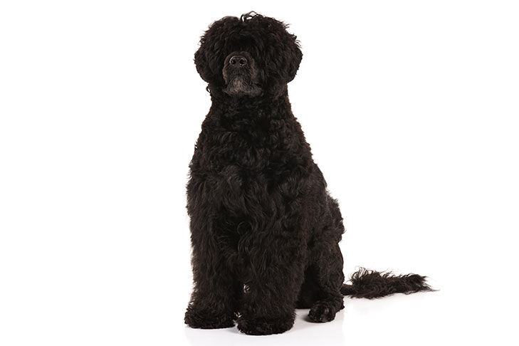 Portuguese Water Dog: Photo #1