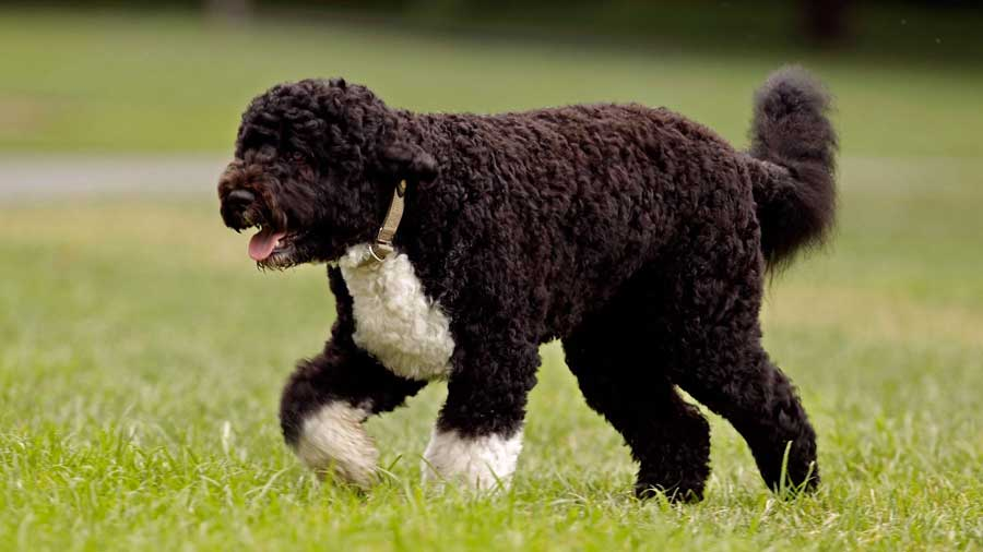 Portuguese Water Dog: Photo #2