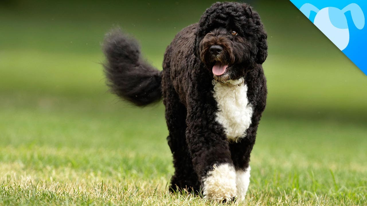 Portuguese Water Dog: Photo #3