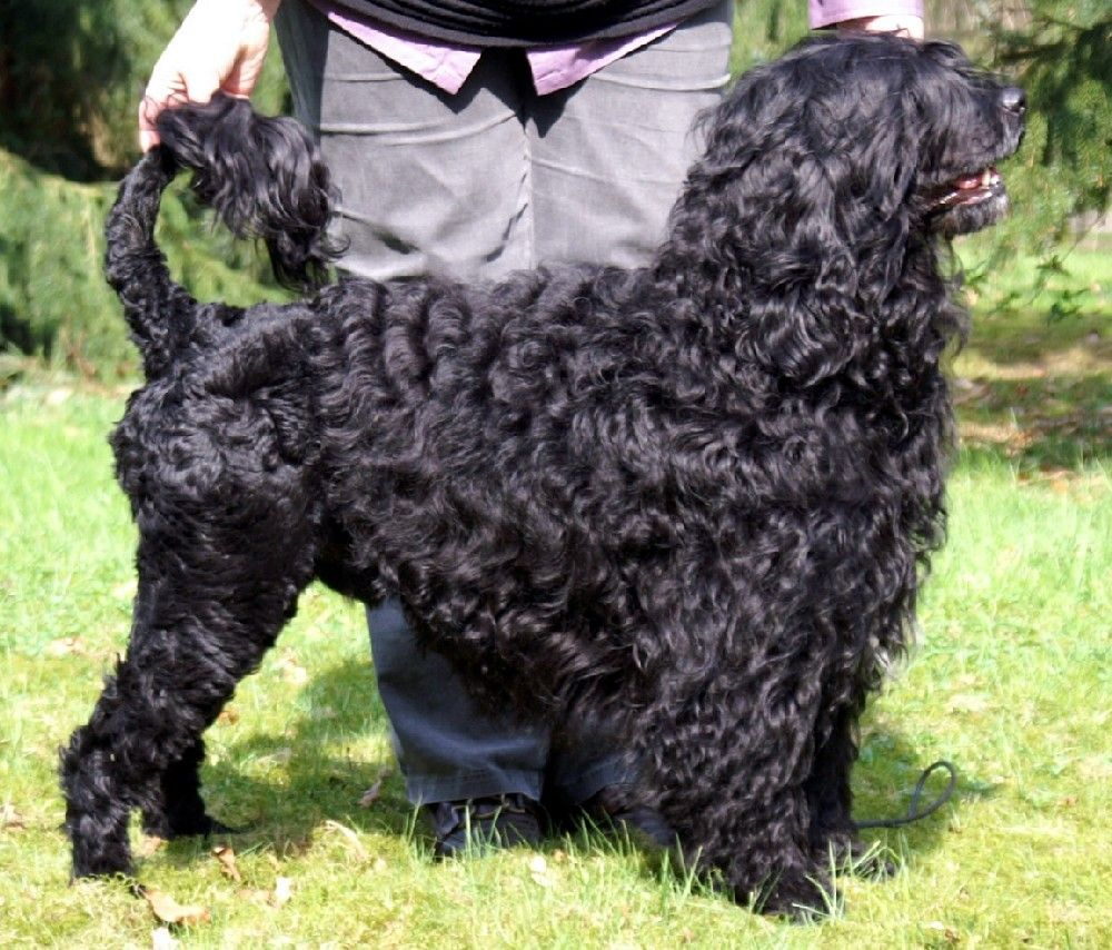 Portuguese Water Dog: Photo #9