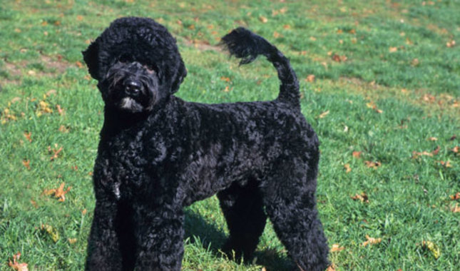Portuguese Water Dog: Photo #4