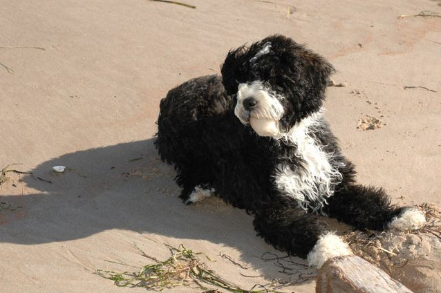 Portuguese Water Dog: Photo #10