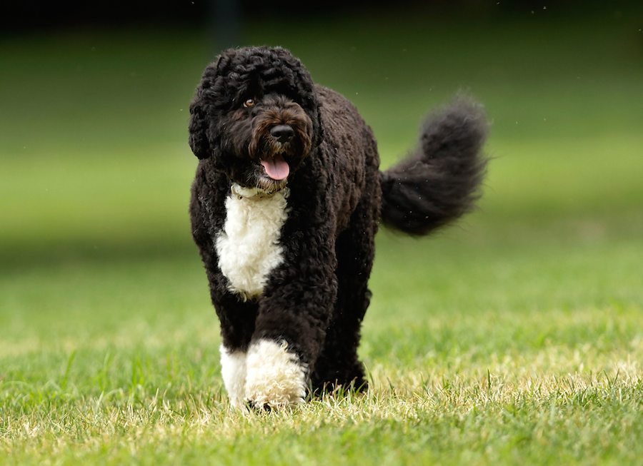 Portuguese Water Dog: Photo #6