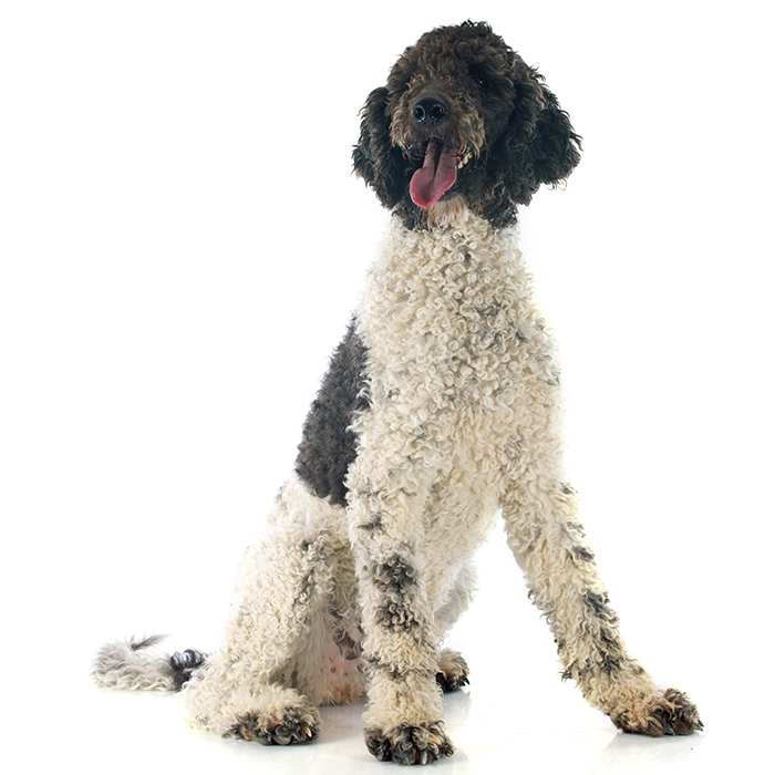Portuguese Water Dog: Photo #7