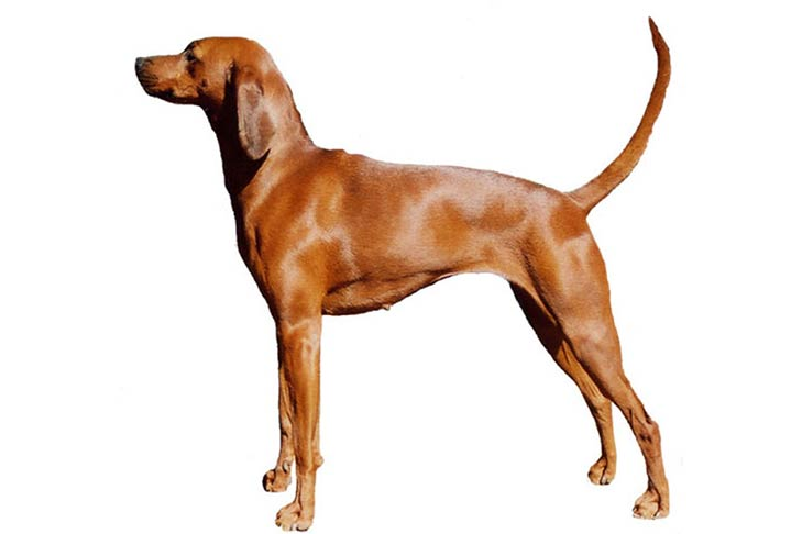 Redbone Coonhound: Photo #8
