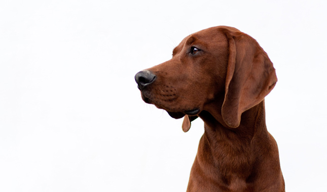 Redbone Coonhound: Photo #1
