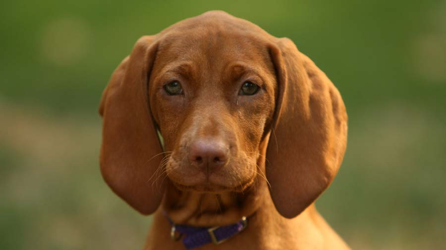 Redbone Coonhound: Photo #2