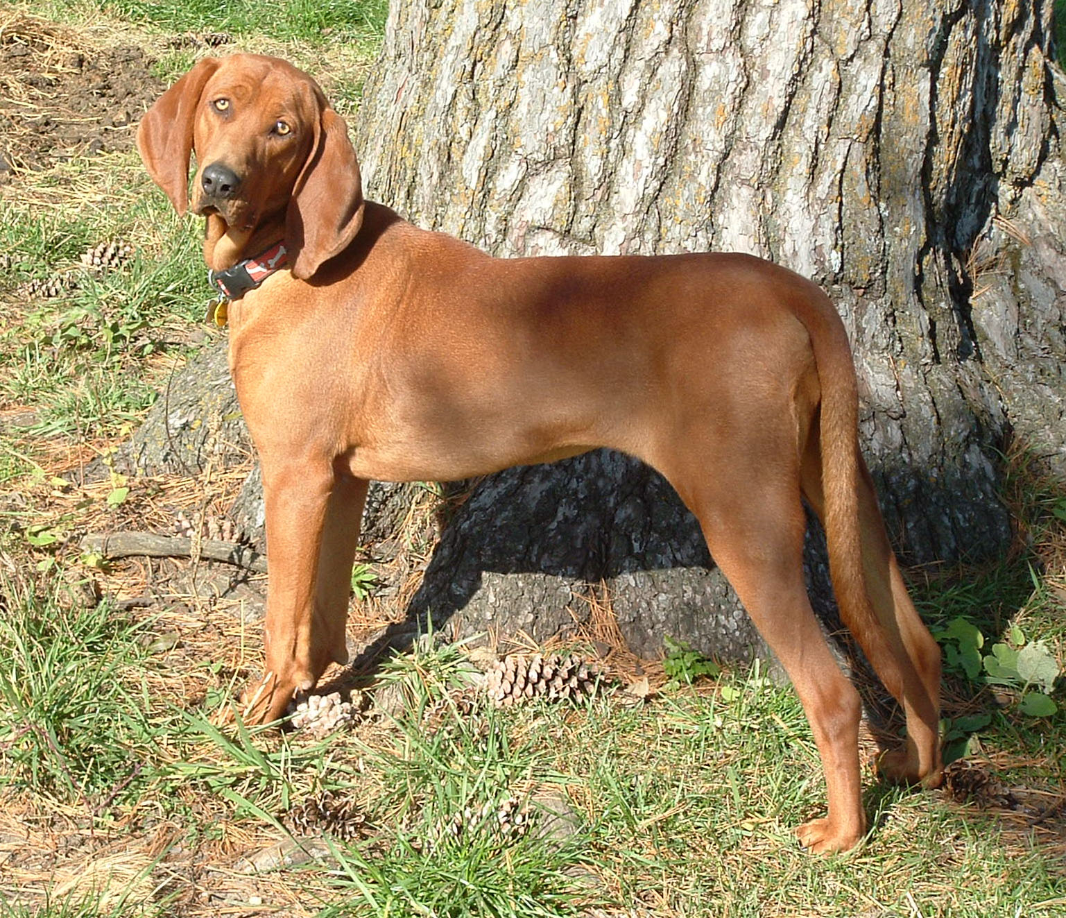 Redbone Coonhound: Photo #10