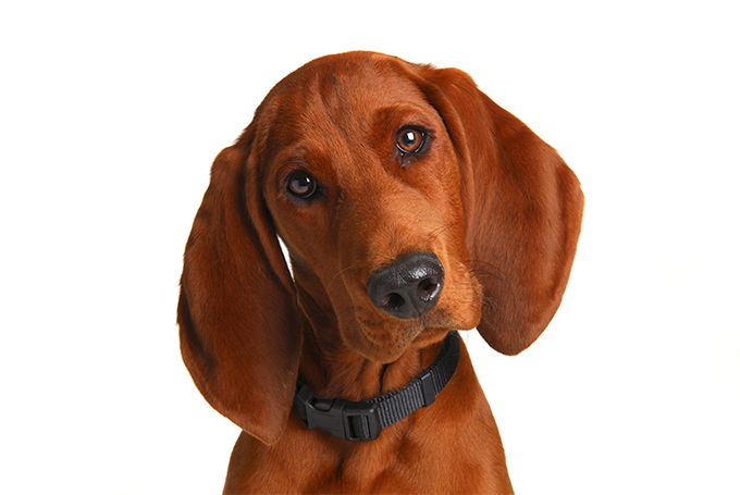 Redbone Coonhound: Photo #4