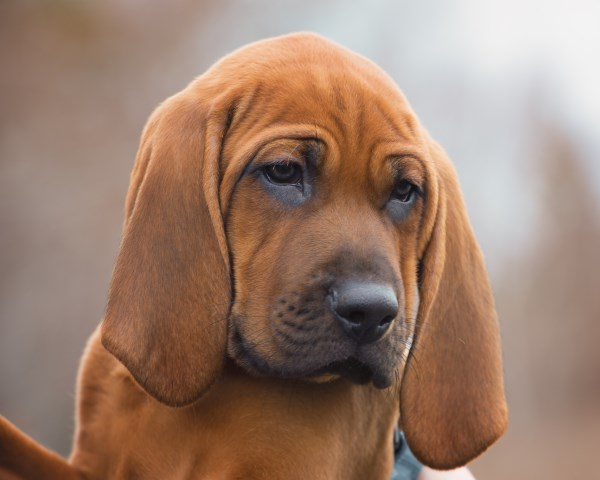 Redbone Coonhound: Photo #5