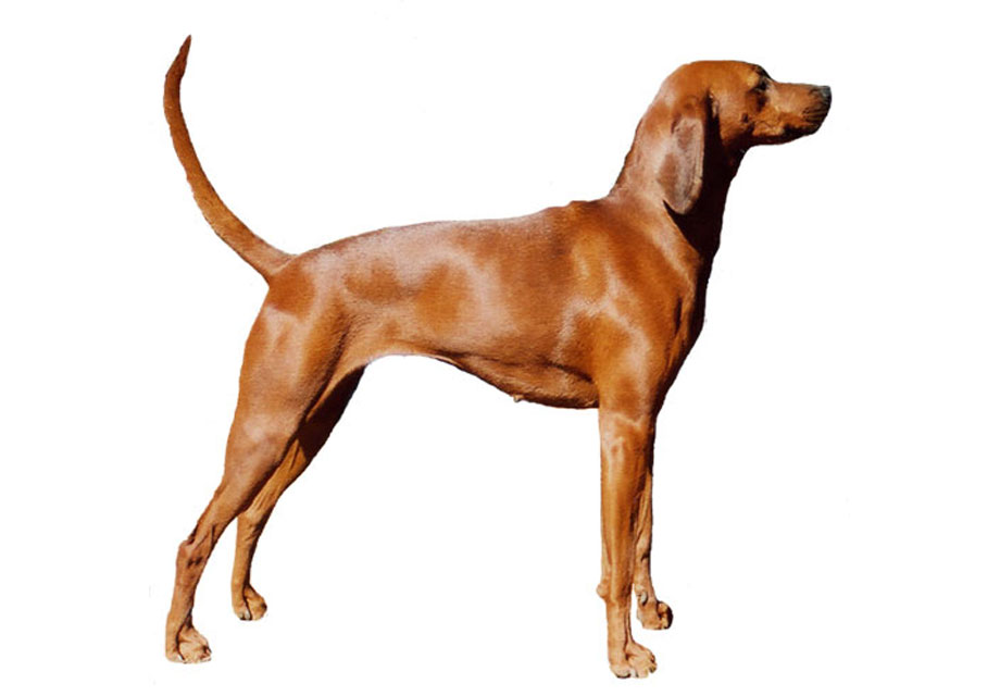 Redbone Coonhound: Photo #6