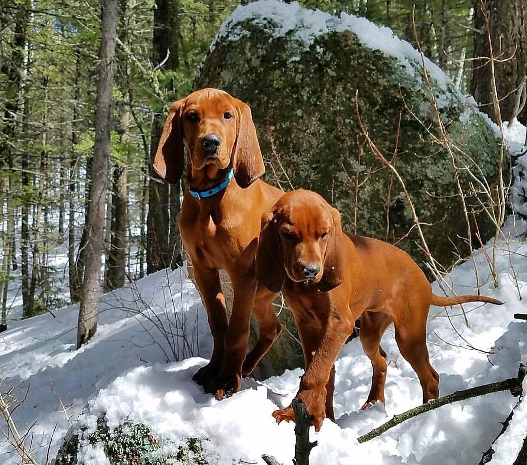 Redbone Coonhound: Photo #9