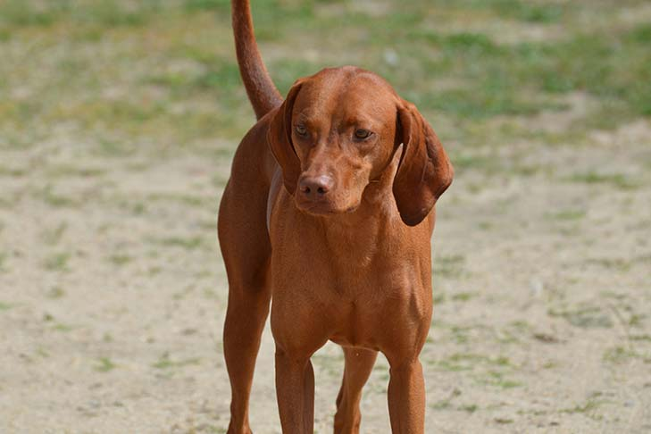Redbone Coonhound: Photo #7