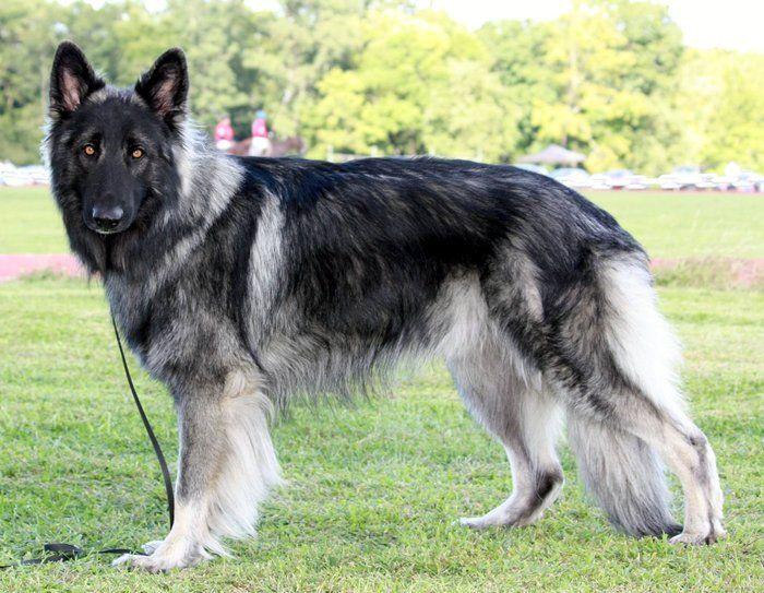 Shiloh Shepherd Dog Information Photos Characteristics