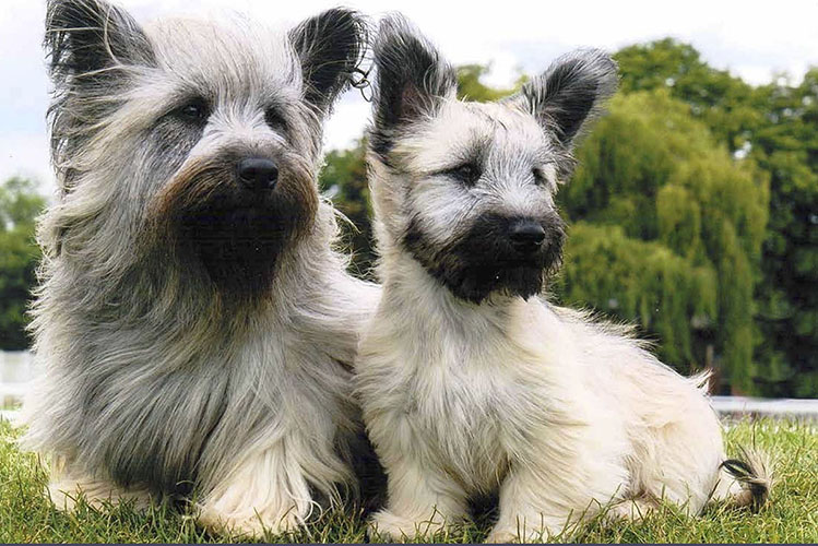 Skye Terrier: Photo #1