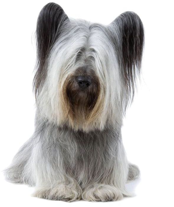 Skye Terrier: Photo #12