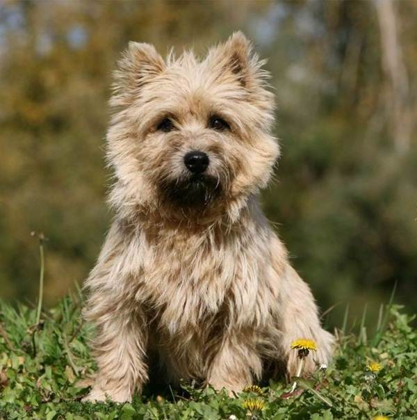 Skye Terrier: Photo #13