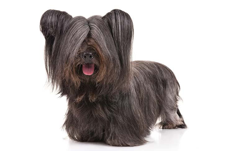 Skye Terrier: Photo #2