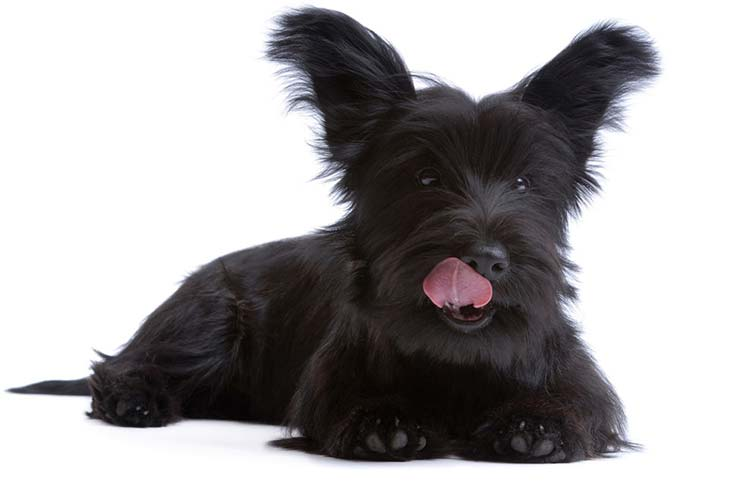 Skye Terrier: Photo #3