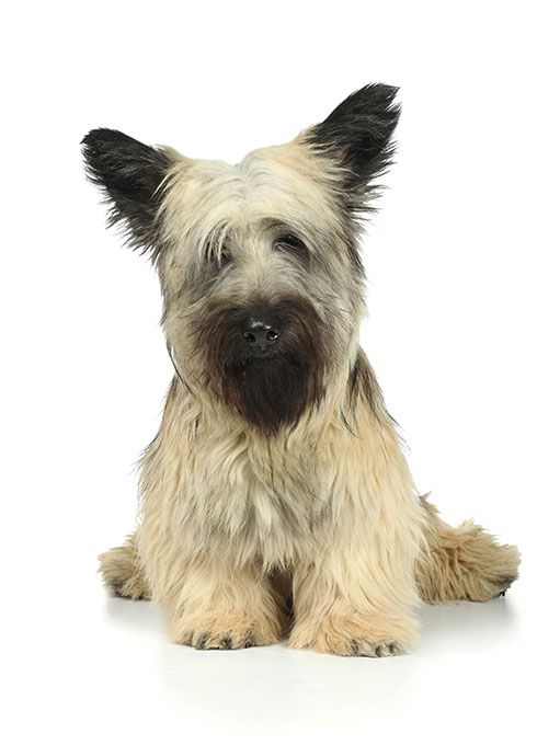 Skye Terrier: Photo #4