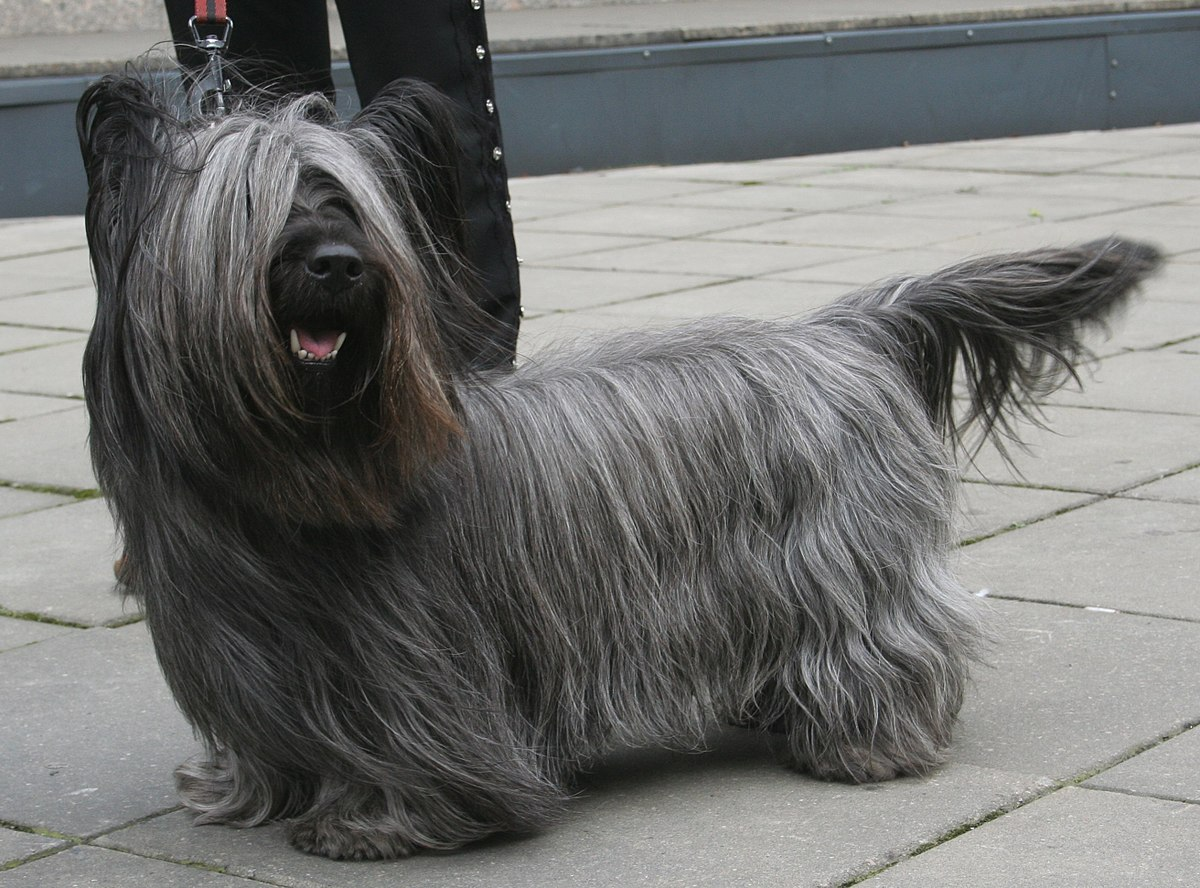 Skye Terrier: Photo #5