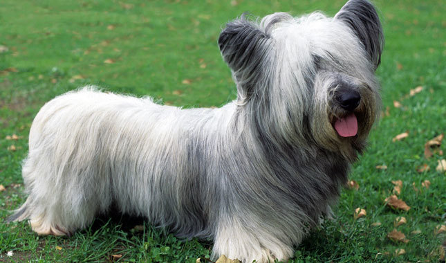 Skye Terrier: Photo #8