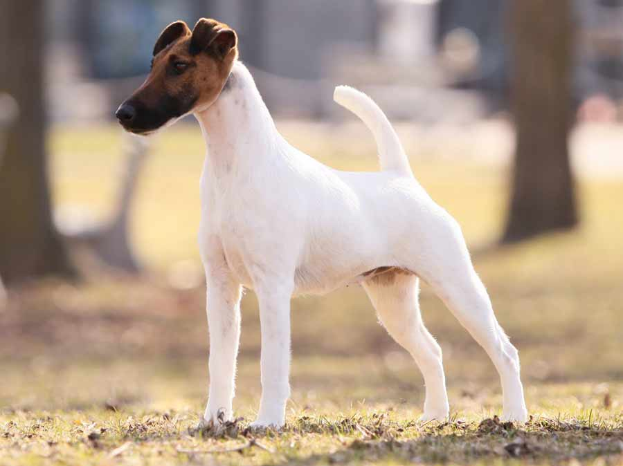 Smooth Fox Terrier: Photo #12