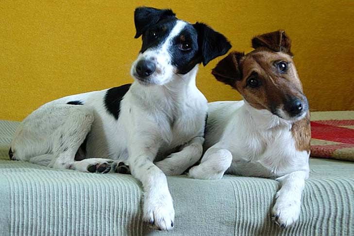 Smooth Fox Terrier: Photo #1
