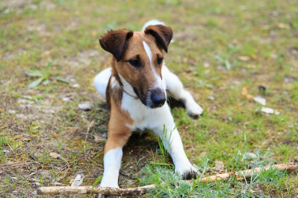 Smooth Fox Terrier: Photo #2