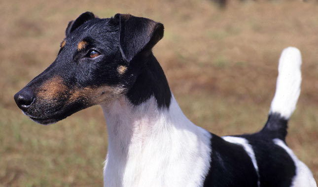 Smooth Fox Terrier: Photo #7