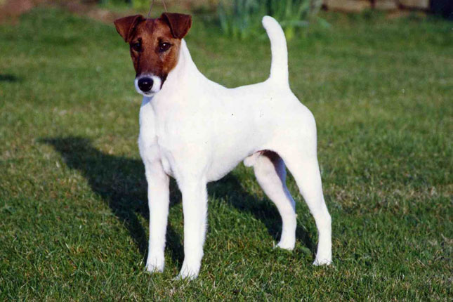 Smooth Fox Terrier: Photo #6