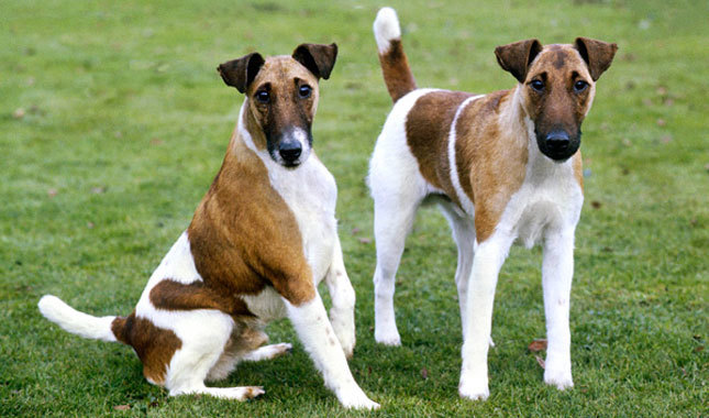 Smooth Fox Terrier: Photo #8