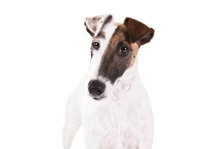 Smooth Fox Terrier: Photo #9
