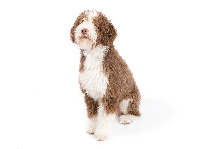 Spanish Water Dog: Photo #10