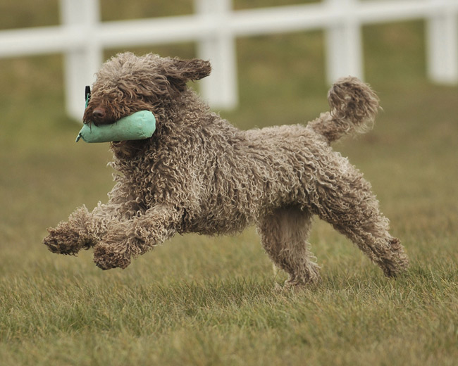 Spanish Water Dog: Photo #11