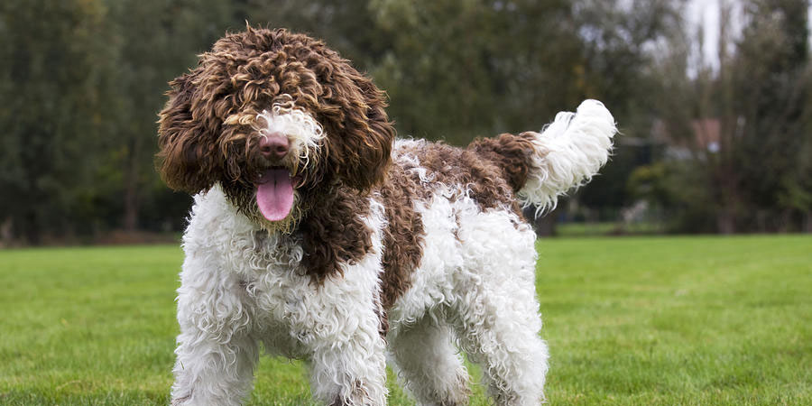 Spanish Water Dog: Photo #12