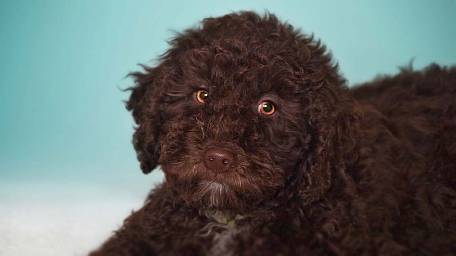 Spanish Water Dog: Photo #13