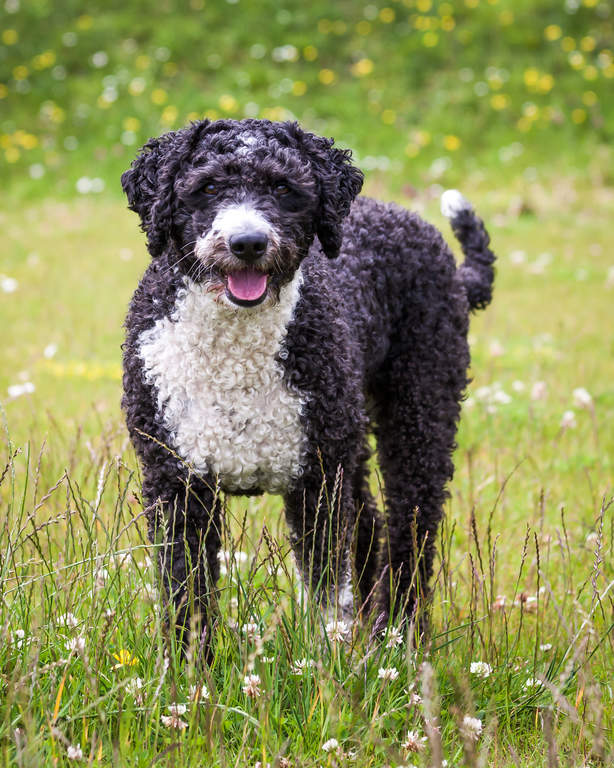 Spanish Water Dog: Photo #14