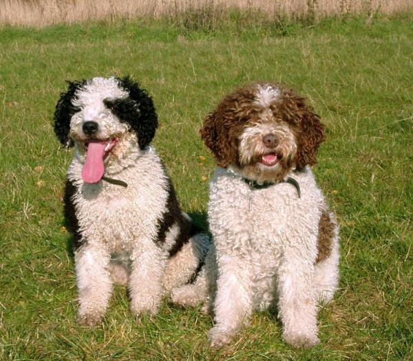 Spanish Water Dog: Photo #15