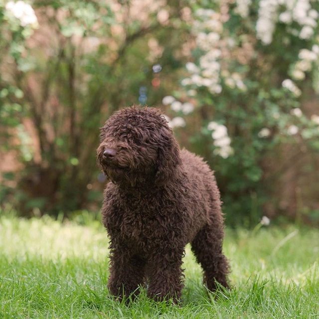 Spanish Water Dog: Photo #16