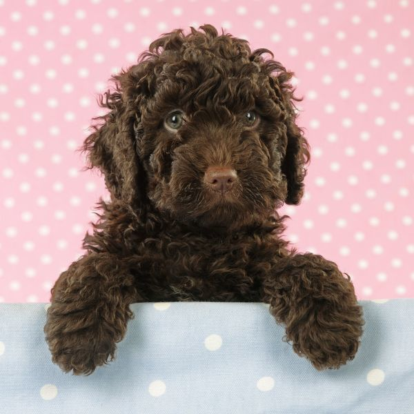 Spanish Water Dog: Photo #17