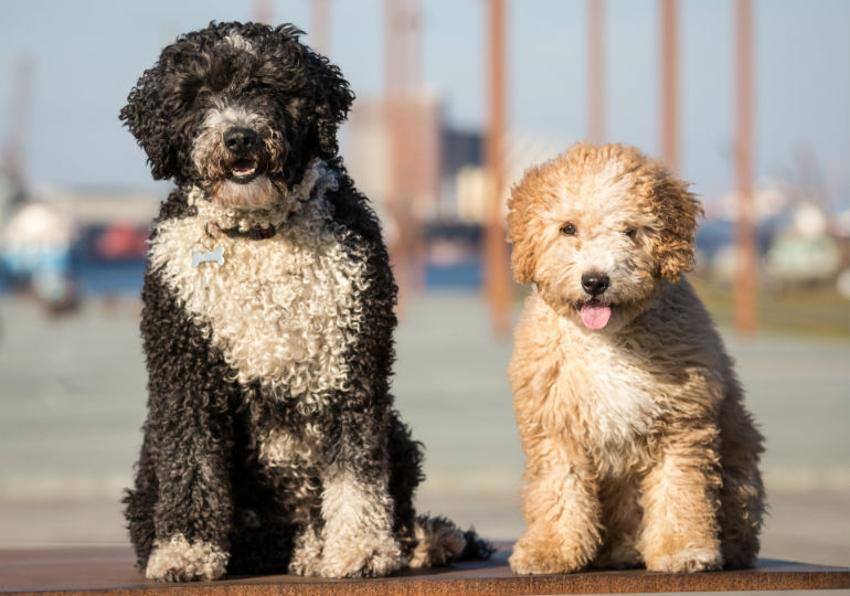 Spanish Water Dog: Photo #1