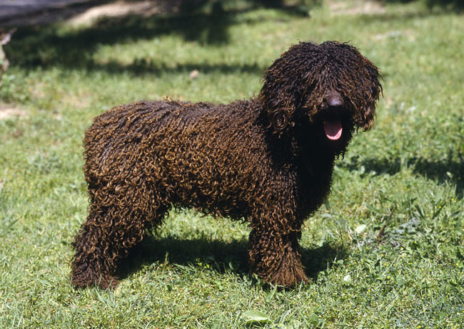 Spanish Water Dog: Photo #3