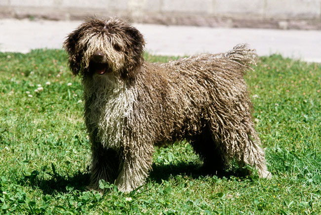 Spanish Water Dog: Photo #4