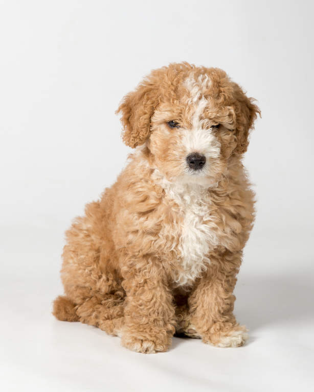 Spanish Water Dog: Photo #5