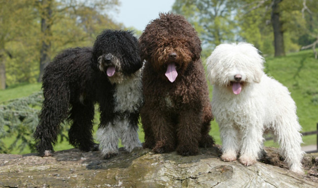 Spanish Water Dog: Photo #6