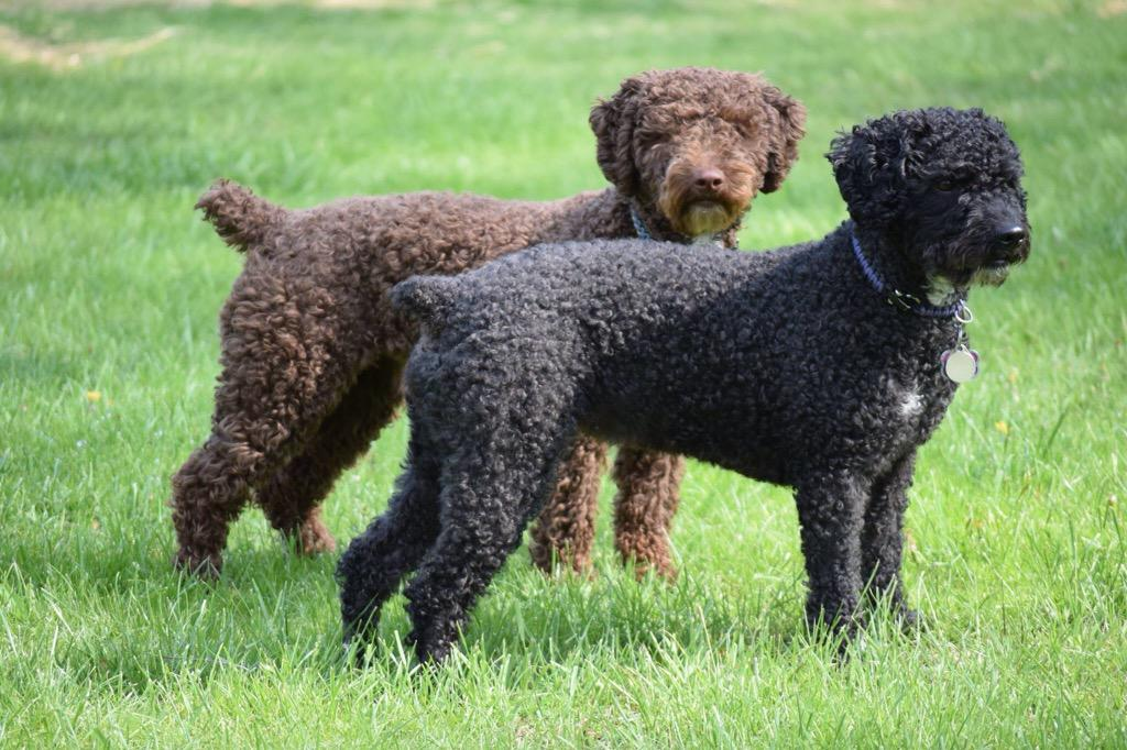Spanish Water Dog: Photo #7