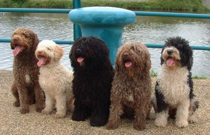 Spanish Water Dog: Photo #8