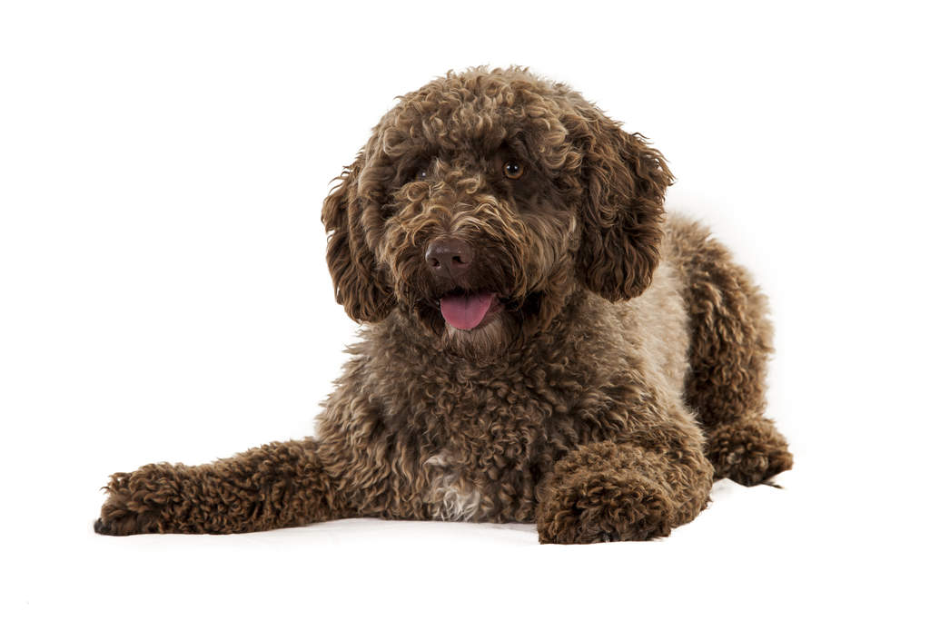 Spanish Water Dog: Photo #9